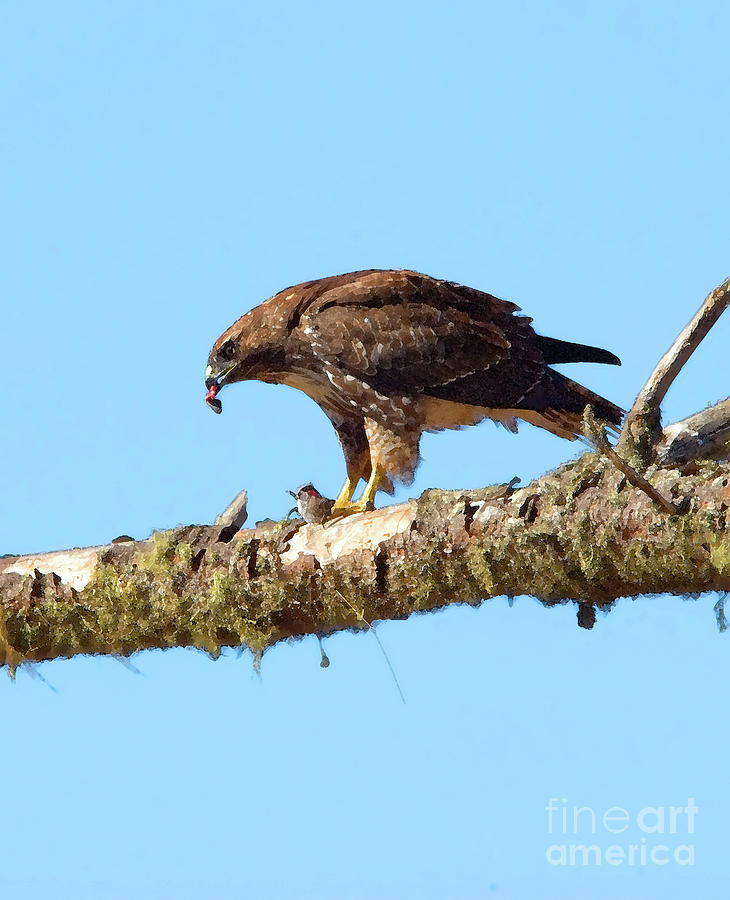 Red-tailed Hawk Photograph - Red-tailed Hawk With Prey by Betty LaRue