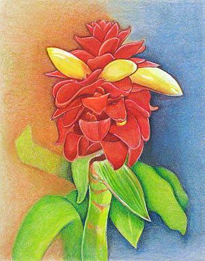 Botanical Drawing - Red Tower Ginger Plant by Barbara Goodsitt