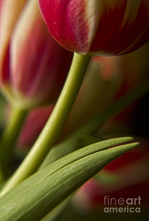 Tulips Photograph - Red Tulip by Dania Reichmuth
