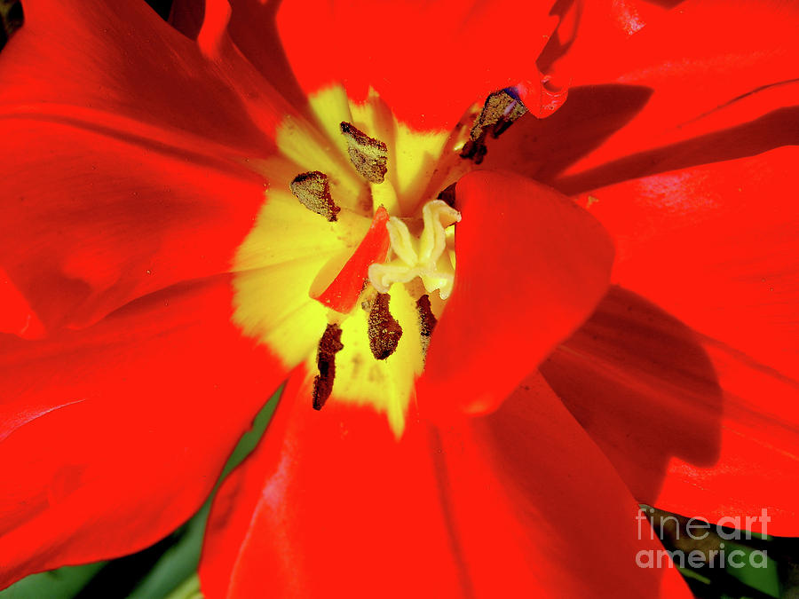 Red Tulip Photograph - Red Tulip by Nina Ficur Feenan