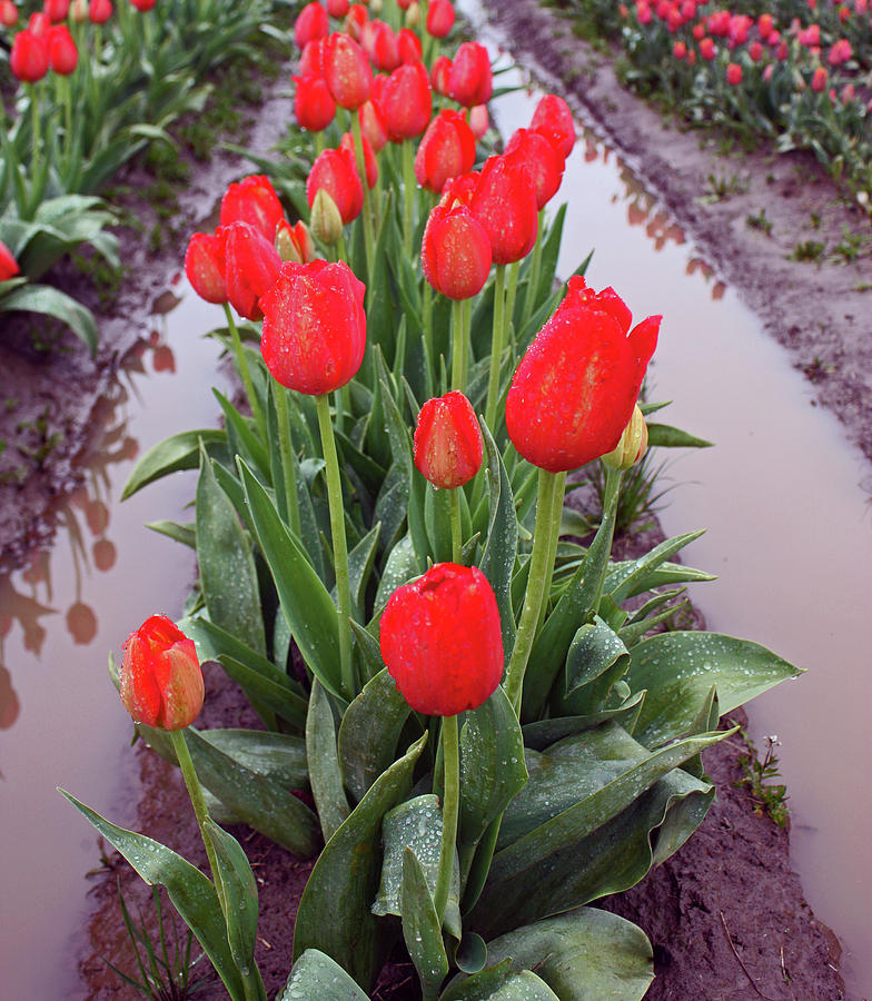 Tulips Photograph - Red Tulip Row by Kami McKeon