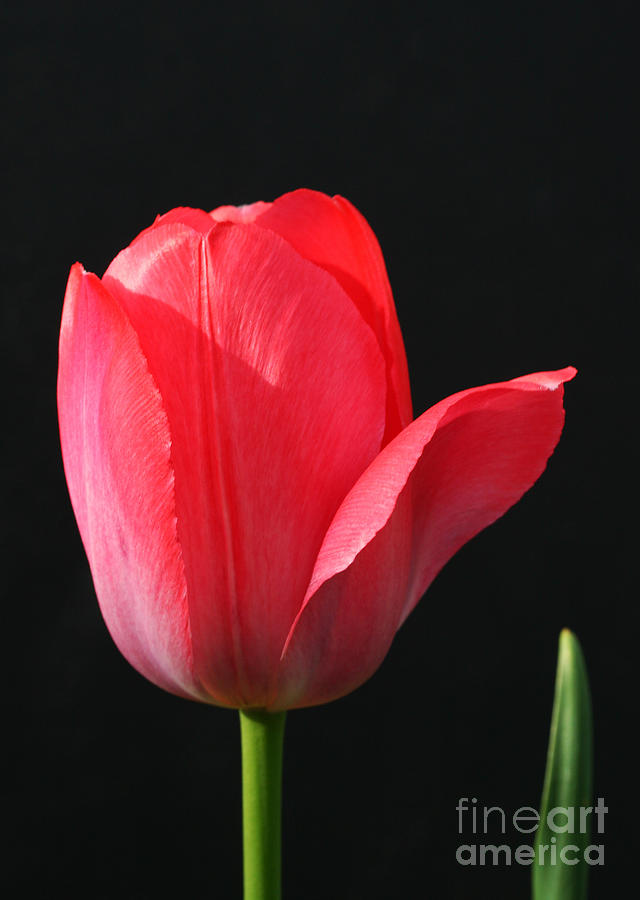 Tulip Photograph - Red Tulip by Steve Augustin