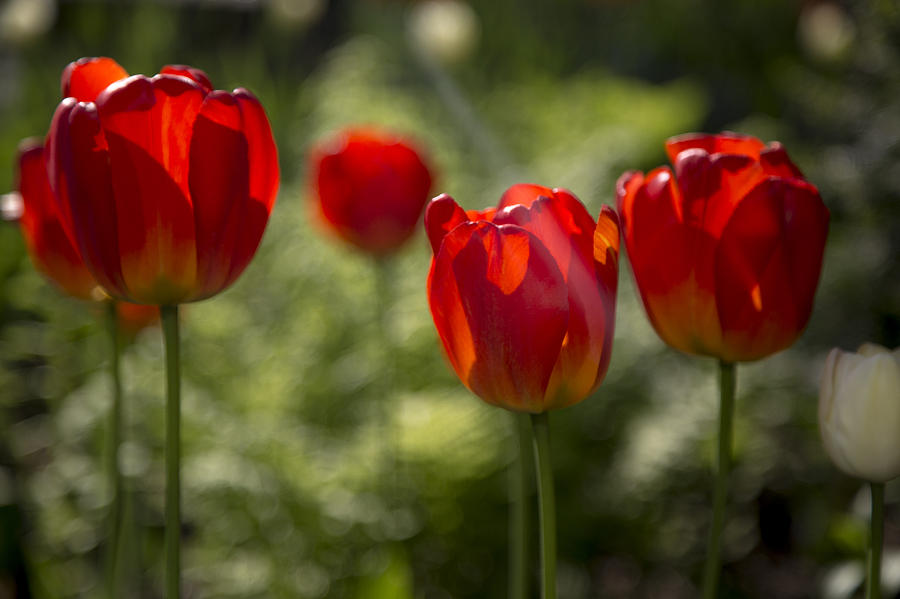 Flowers Photograph - Red Tulips In Light by Denise Nehila