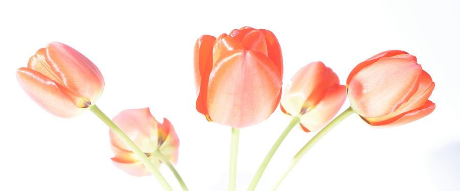 Flowers Photograph - Red Tulips by Paulina Roybal