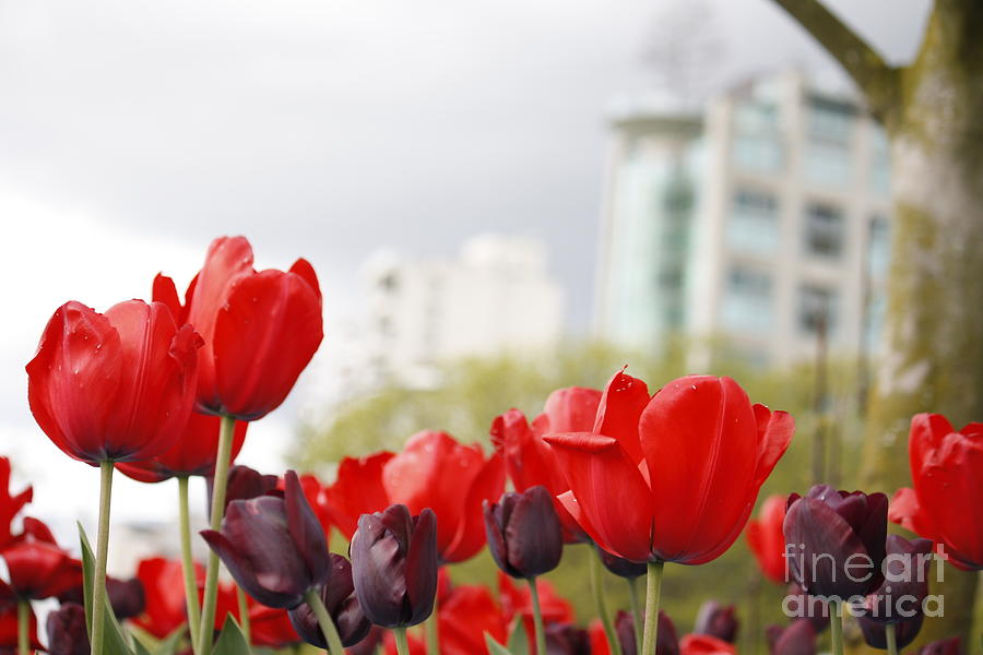 Red Tulips by Wilko Van de Kamp