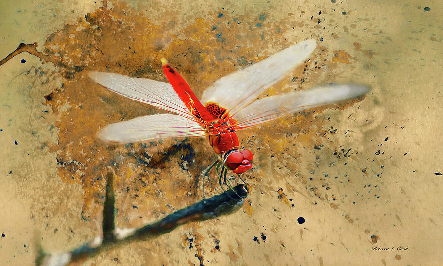 Red Veined Darter Dragonfly Photograph