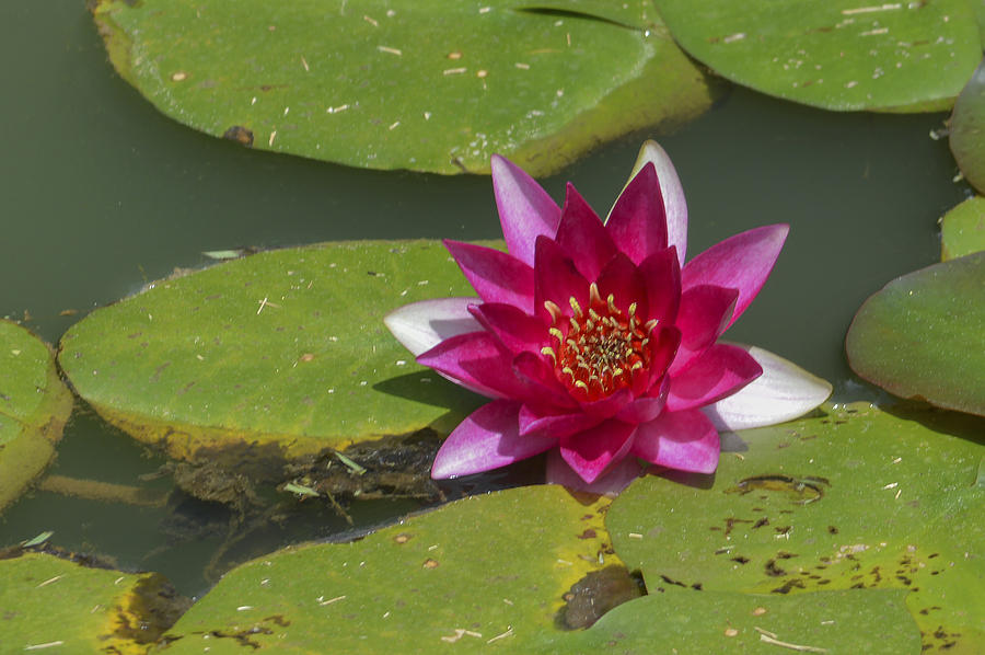 Water Lilies Photograph - Red Water Lily by Linda Geiger