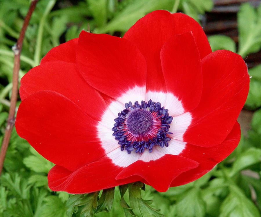 Anemone Flower Photograph - Red White N Blue by Kevin F Cook