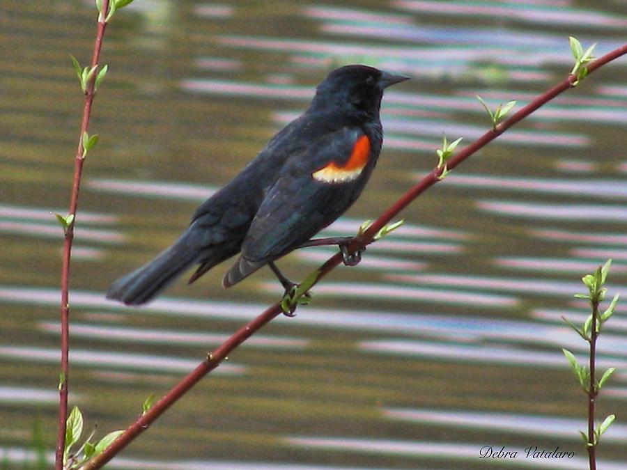 Home Decor Photograph - Red Wing Black Bird by Debra     Vatalaro