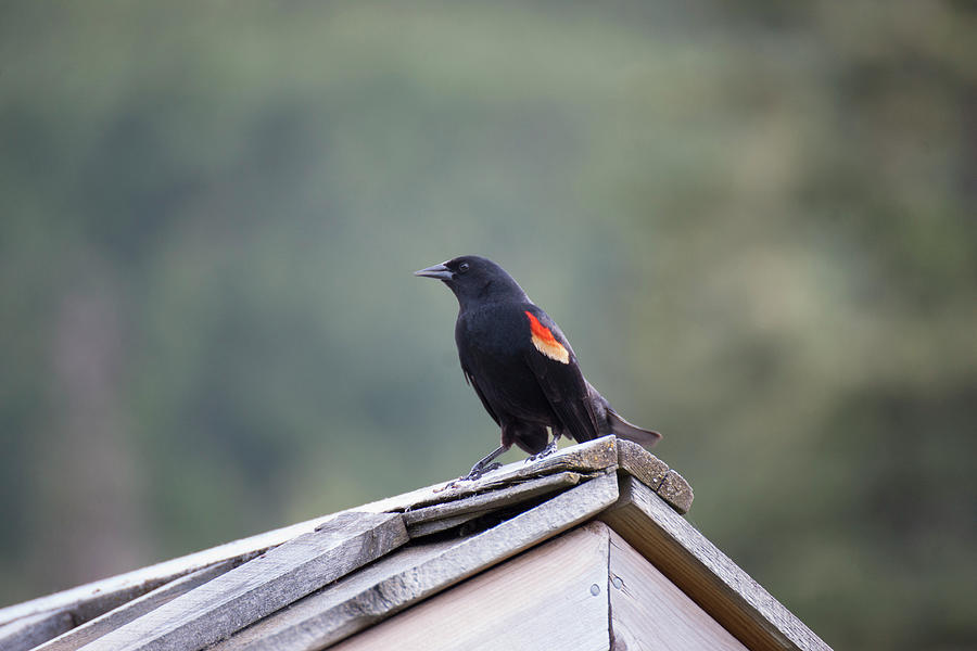 R Photograph - Male Red Wing Black Bird by Robert Braley