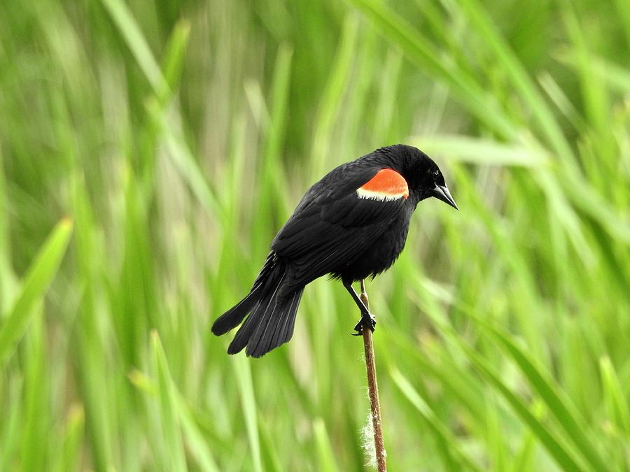 Red-winged Photograph - Red-winged Blackbird by Brian Chase