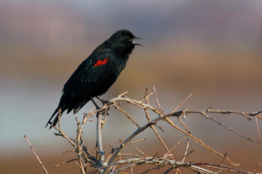 Red Winged Blackbird Photograph - Red Winged Blackbird Call by Susan Wright