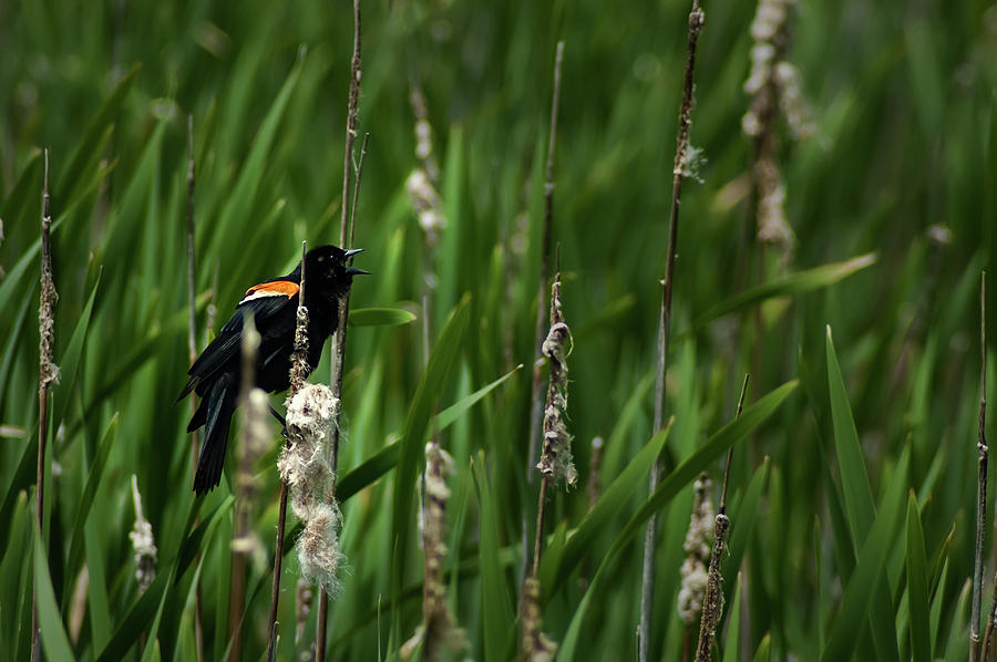 Red-winged Blackbird Calling Photograph
