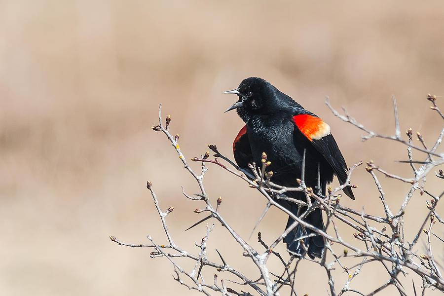 Red-Winged Blackbird by Glenn Springer