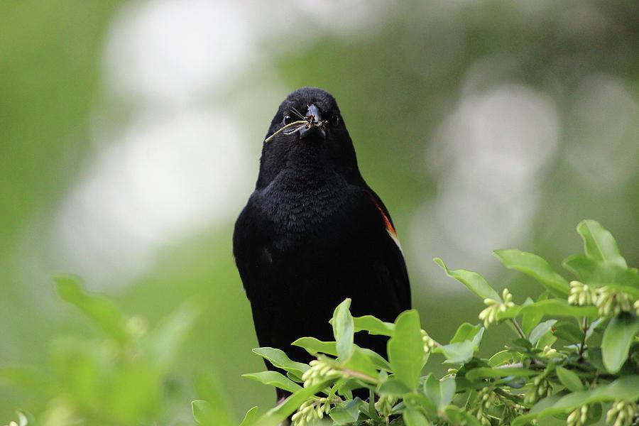 Red-Winged Blackbird by Jake Danishevsky