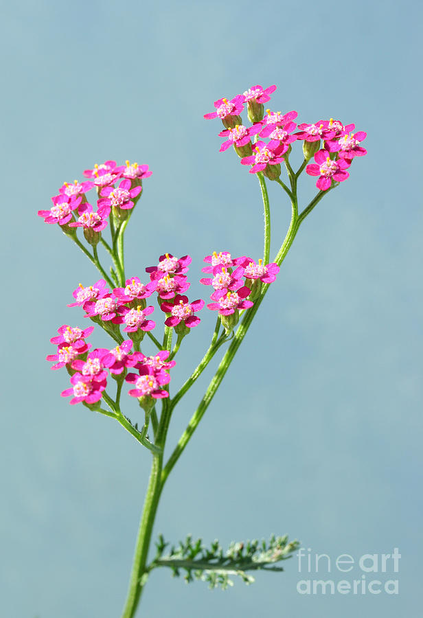 Flowers Photograph - Red Yarrow by Steve Augustin