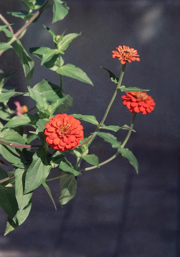 Zinnia Flowers Photograph - Red Zinnia Flowers by Kim Hojnacki