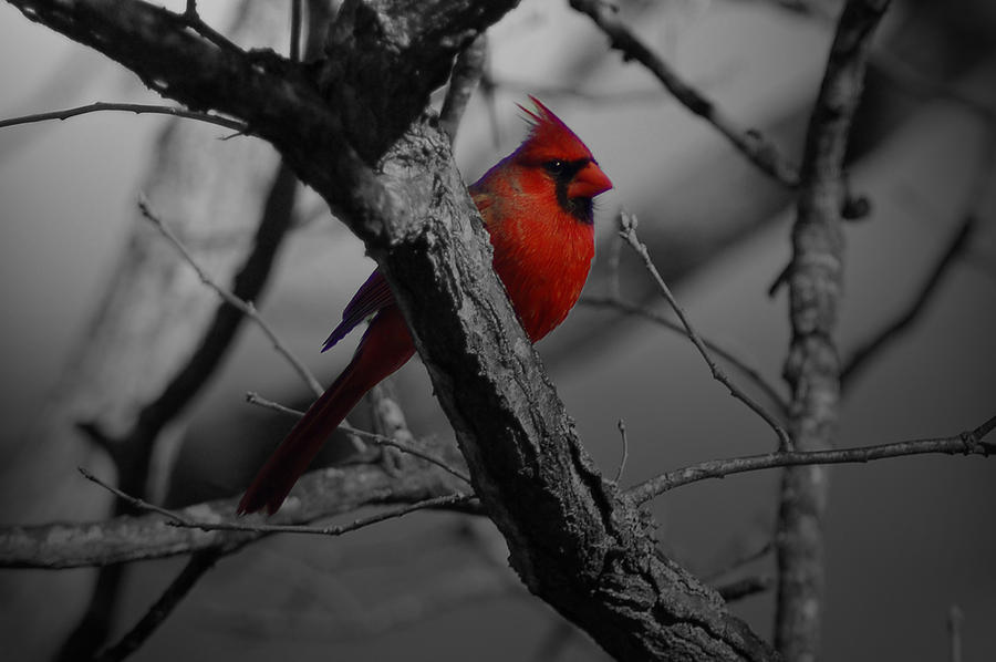 Cardinal Photograph - Redbird by Shawn Wood
