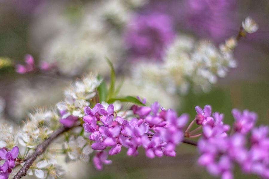 Redbud Blooms by Karen Saunders