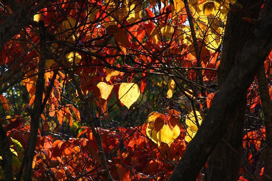Redbud Photograph - Redbud by Kathryn Meyer