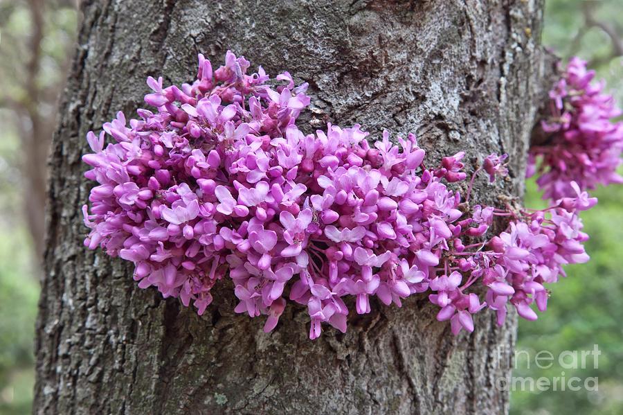 Redbud Tree In Flower Photograph By Inga Spence