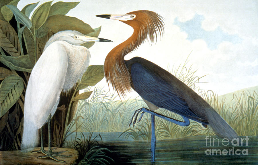 1858 Photograph - Reddish Egret, by Granger