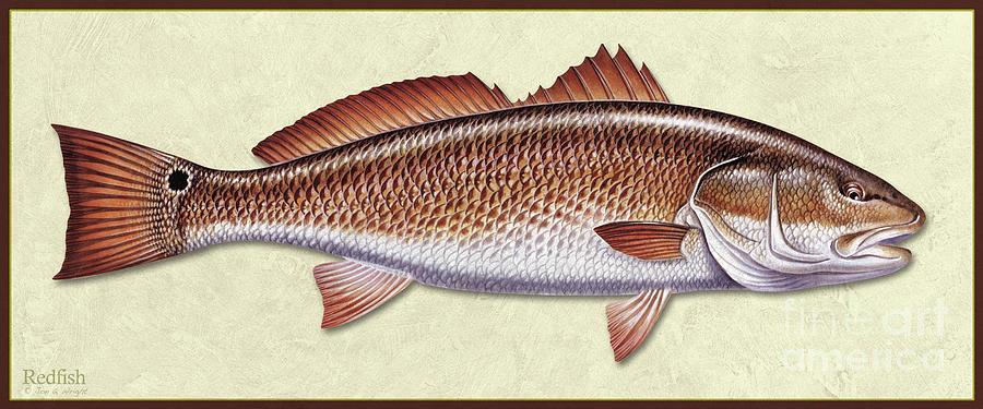 Redfish ID by Jon Q Wright
