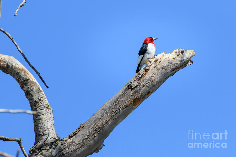 Redheaded Woodpecker on a Dead Tree by Richard Smith