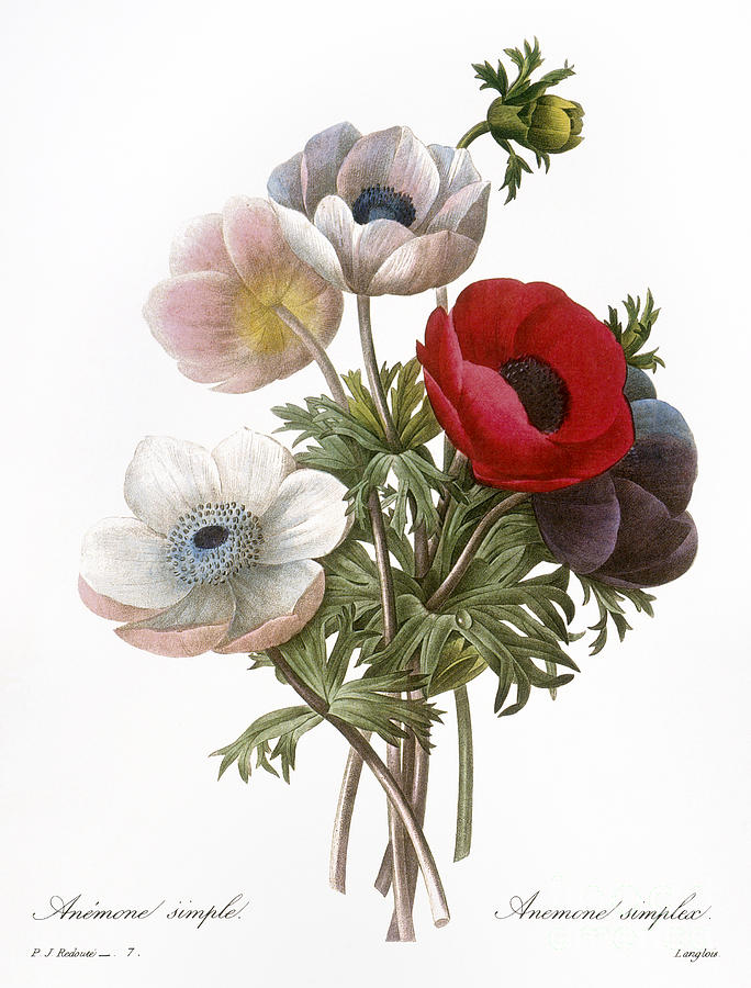 1833 Photograph - Redoute: Anemone, 1833 by Granger