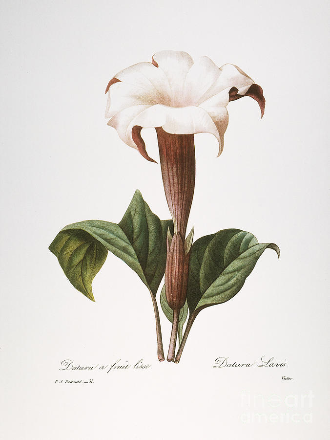 1833 Photograph - Redoute: Datura, 1833 by Granger