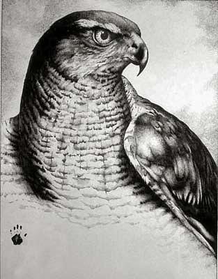 Wildlife Drawing - Redtail Hawk by Bobby Kro