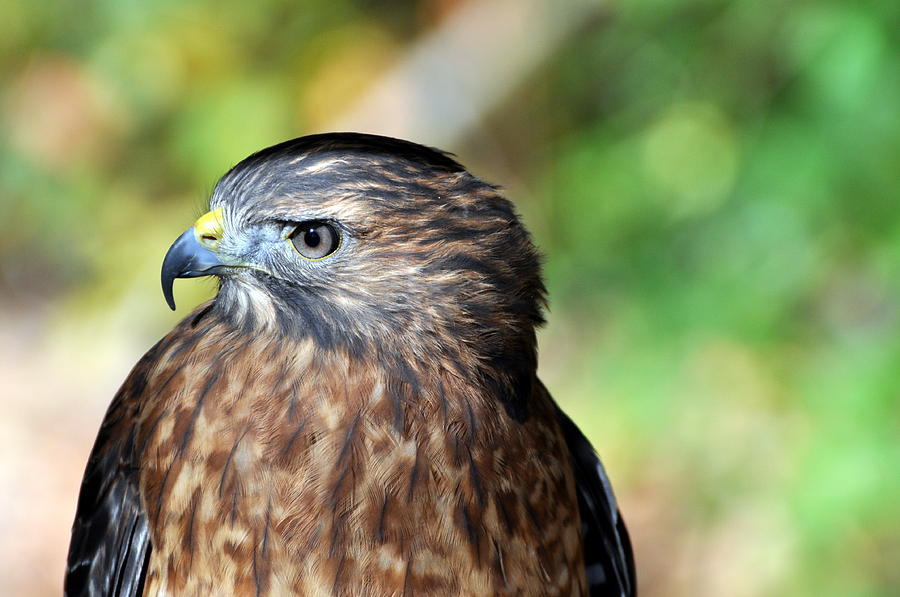 Redtail Hawk Photograph - Redtail by Marty Koch