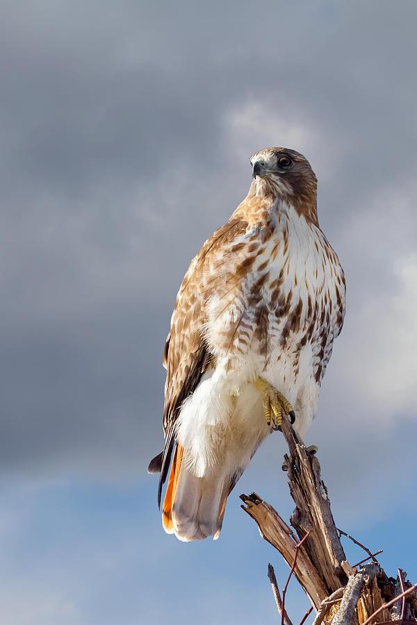 Redtail Hawk Photograph - Redtail Portrait by Bill Wakeley