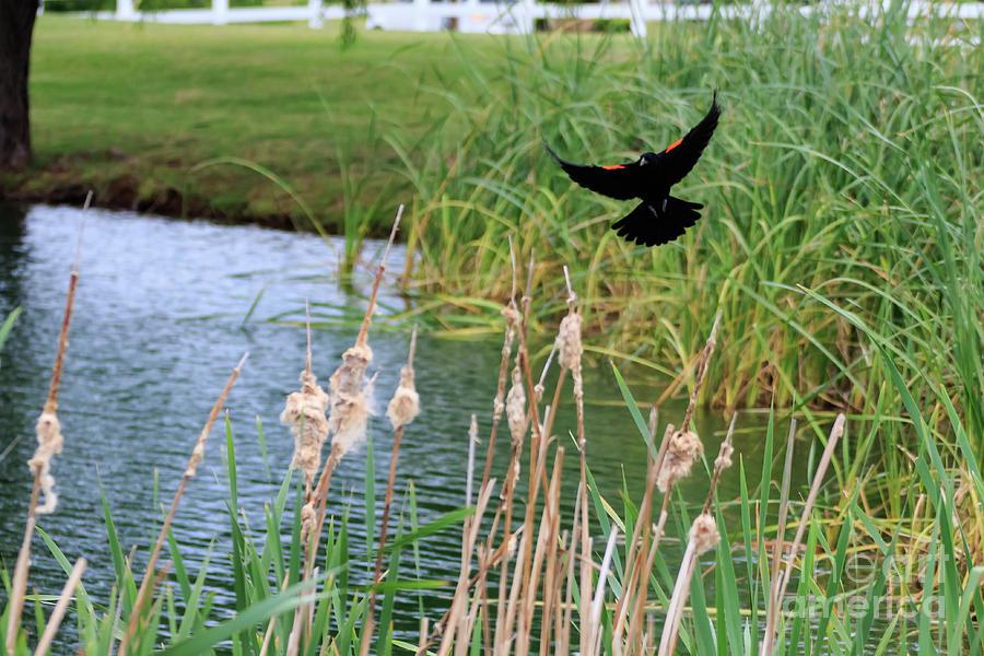 Redwing Blackbird In Flight. Photograph