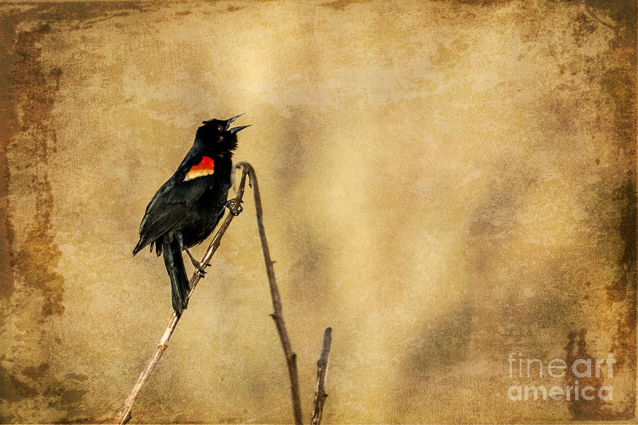 Redwinged Blackbird Photograph