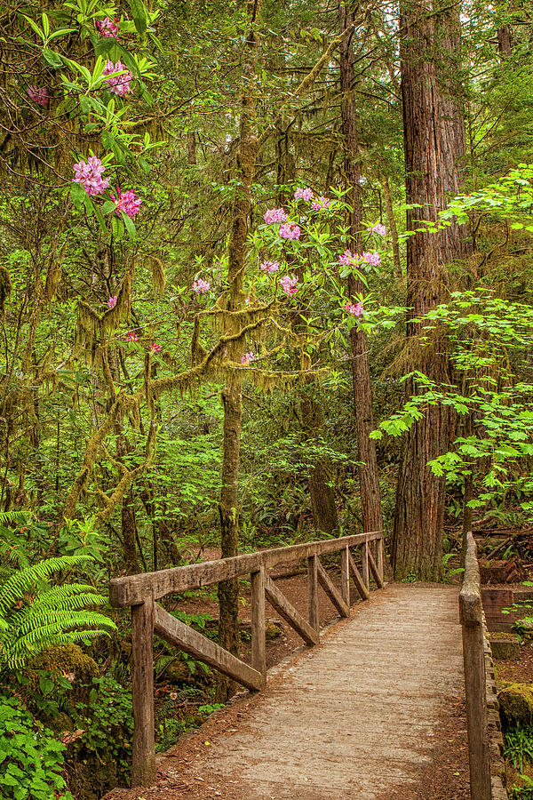 Redwood Photograph - Redwood Trail  In The Spring by Andrew Soundarajan