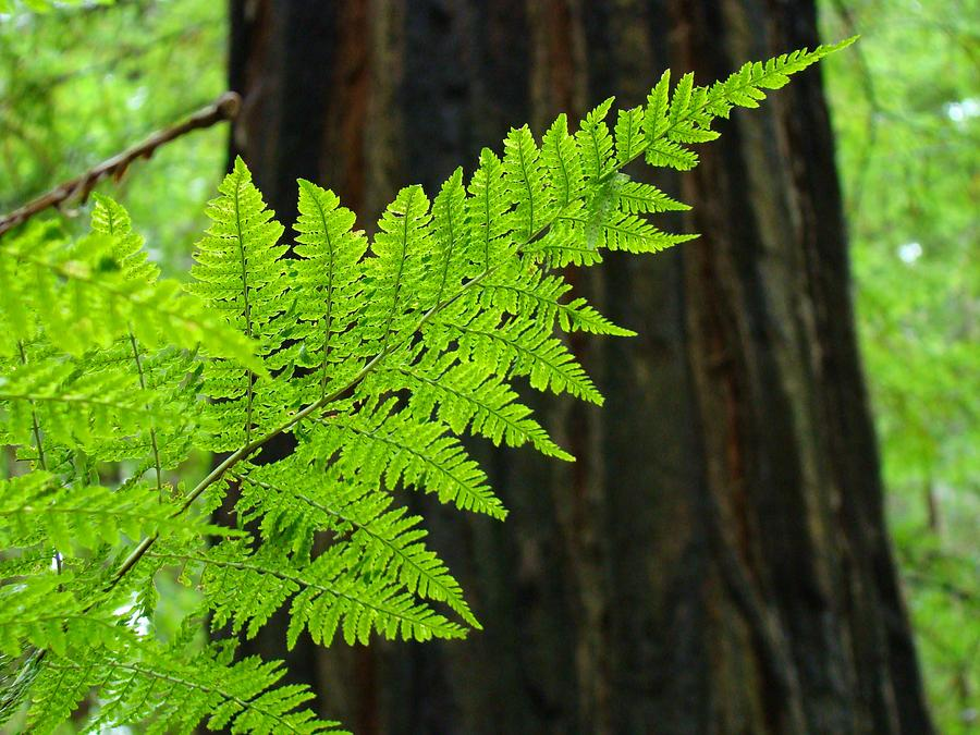 Fern Photograph - Redwood Tree Forest Ferns Art Prints Giclee Baslee Troutman by Baslee Troutman