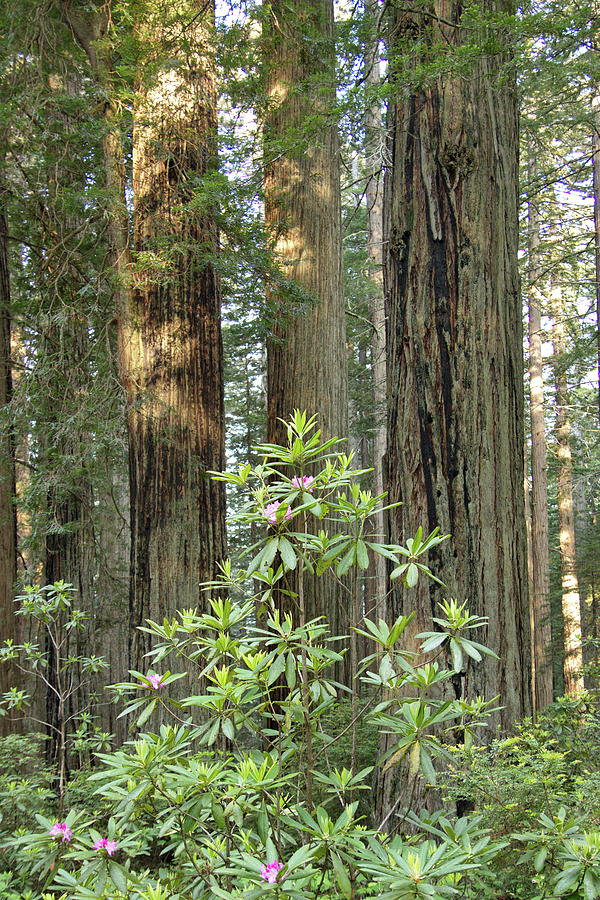 Redwoods and Rhododendrons by Harold Rau