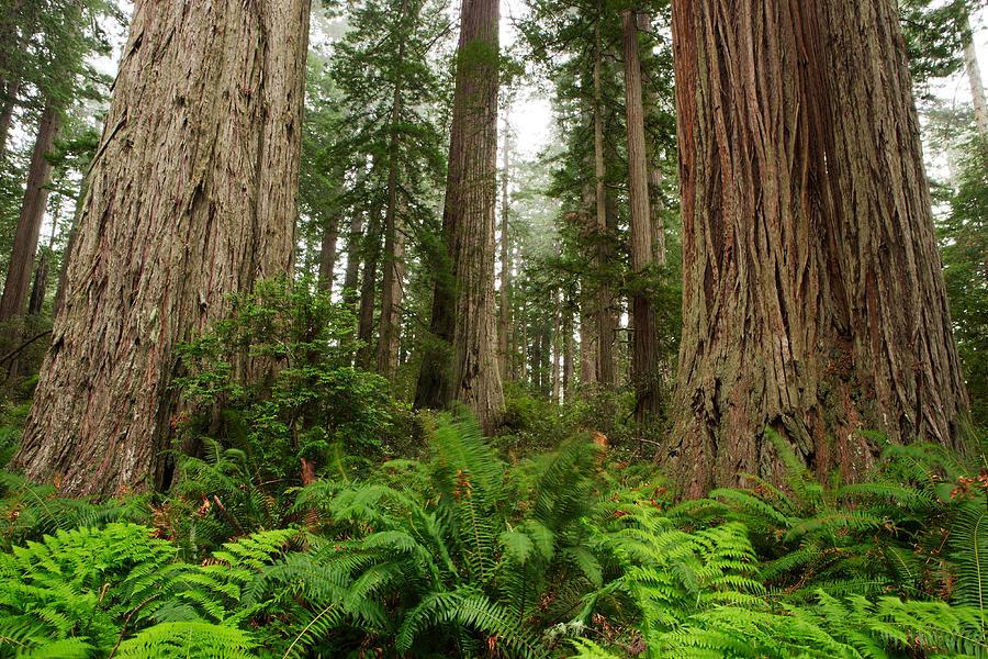 California Photograph - Redwoods by Eric Foltz