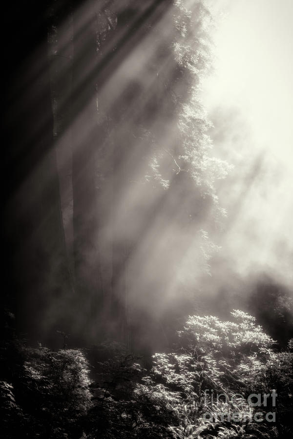 Redwoods In The Mist 2 Photograph