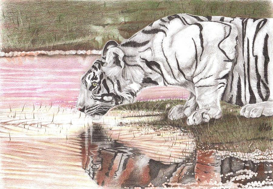 Tiger Drawing - Reflecting by Dustin Knighton