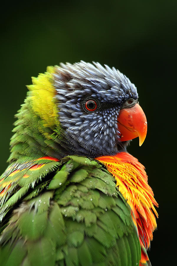 Rainbow Lorikeet Photograph - Reflecting In The Rain by Lesley Smitheringale