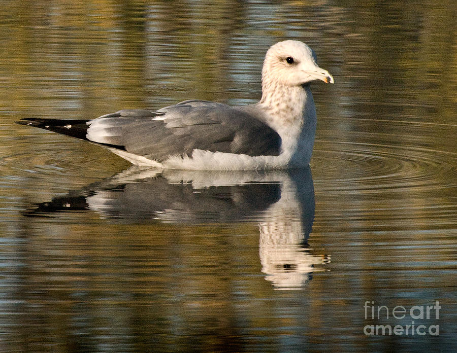 Animals Photograph - Young Gull Reflections by Norman Andrus