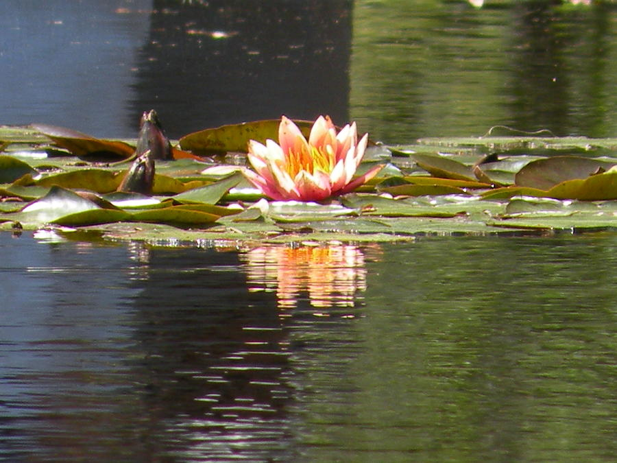 Pool Photograph - Reflecting Pool Bloom by Gregory Letts