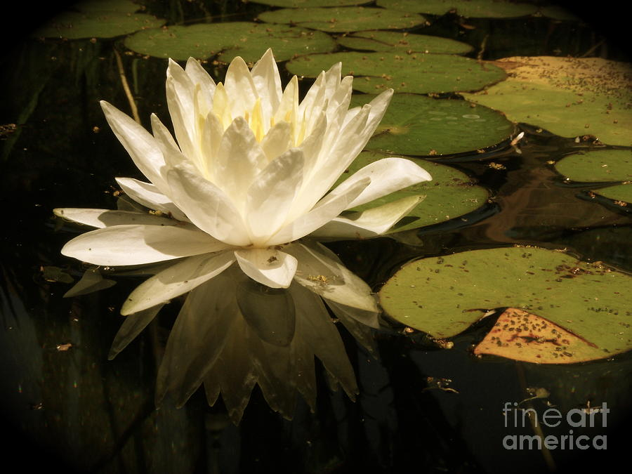 Lotus Photograph - Reflection by Amy Strong