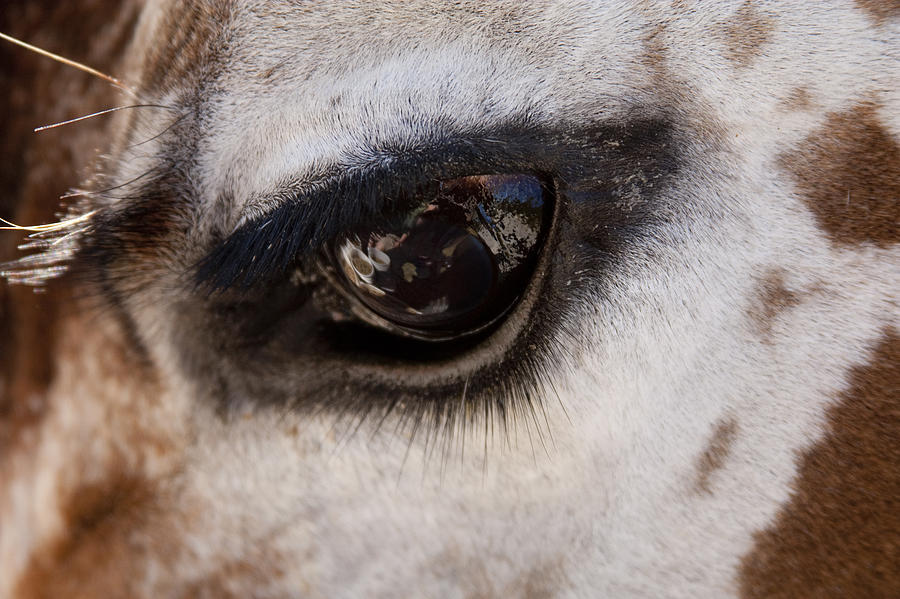 Giraffe Photograph - Reflection Of A Friend by David Yocum