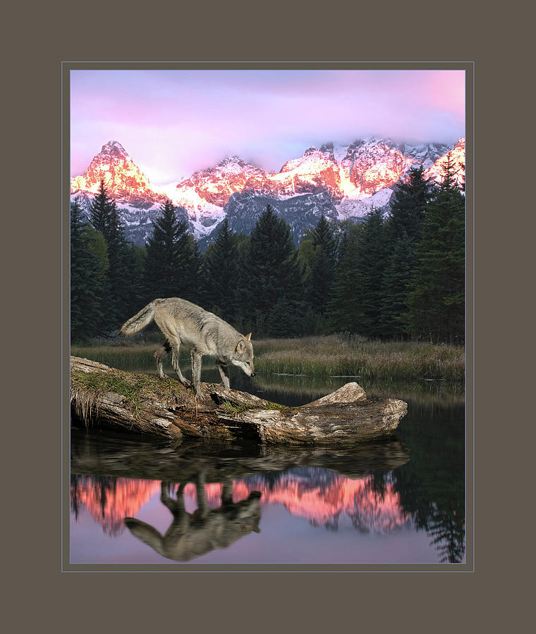 Wolf Photograph - Reflection of a lone wolf by Roy Nierdieck