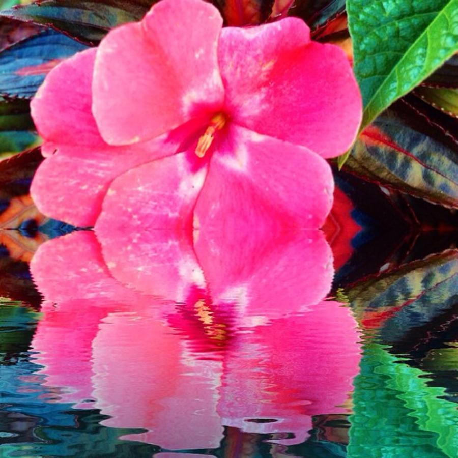 Reflection Photograph - #reflection #splendid_flowers #thinkpink by Lisa Pearlman