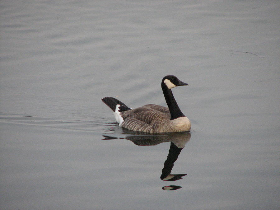 Goose Photograph - Reflections by Athena Ellis