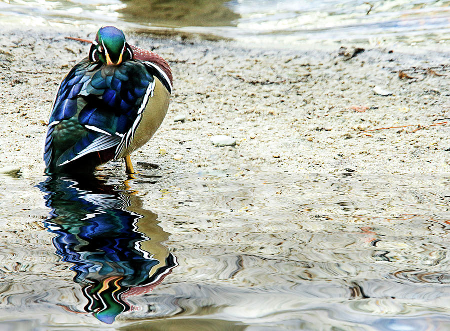 Reflections Of A Sleeping Wood Duck Photograph